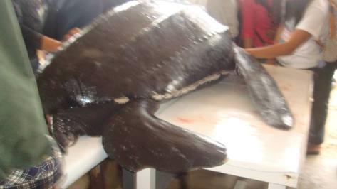LeatherHead Sea turtle Fund In Northern Samar Philippines need Help.. . .